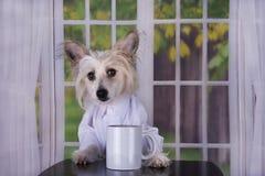 Китаец Crested выпивая ее кофе утра стоковое изображение rf