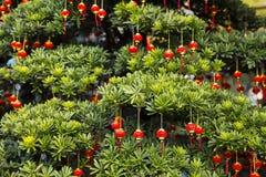 китайская весна празднества Дерево и китайские фонарики Стоковые Изображения RF