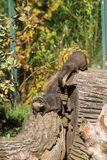 Китайская выдра карлика Стоковая Фотография RF