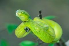 Китайская зеленая гадюка дерева Стоковое фото RF