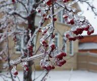 Китайская зима льда дерева crabapple Стоковое фото RF