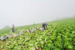 Китайская капуста Стоковая Фотография