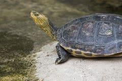 Китайская нашивк-necked черепаха Стоковое Изображение RF
