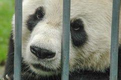 Китайская панда за барами Стоковые Изображения