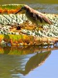 Китайская Пруд-цапля с lian Стоковые Фотографии RF