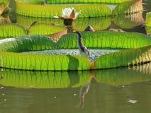 Китайская Пруд-цапля с lian Стоковое Изображение RF