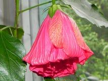 Китайская роза в цветени Красивый красный цвет розового цветка o стоковое фото