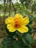 Китайская роза стоковая фотография rf