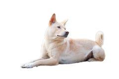 Китайская сельская собака в белой предпосылке Стоковые Изображения