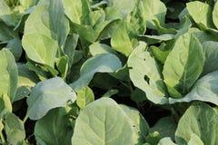 Китайская ферма kale стоковые фотографии rf