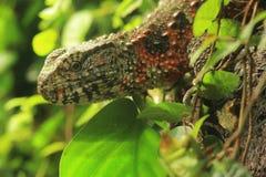 Китайская ящерица крокодила Стоковая Фотография