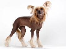 китайская crested женщина собаки Стоковая Фотография RF