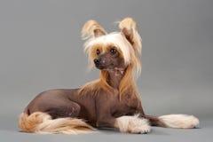 китайская crested женщина собаки Стоковое фото RF