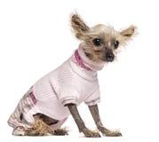 Китайская Crested одетая собака, 10 лет старых, Стоковые Изображения RF
