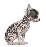 китайская crested собака безволосая Стоковая Фотография RF