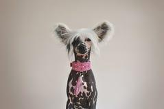 Китайская Crested собака с розовым воротником Стоковое Изображение RF