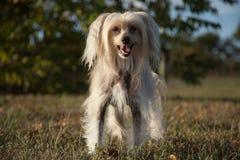 Китайская crested собака стоковые изображения rf