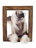 Китайская Crested собака Стоковое Изображение RF