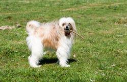 Китайская Crested собака Стоковое Фото