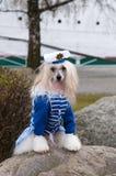Китайская crested собака Стоковая Фотография RF