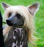 китайская crested собака Стоковое фото RF