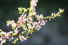 Китайские вишневые цвета Стоковое Изображение