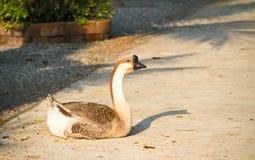 Китайские гусыни, одомашниванная форма гусыни лебедя Стоковая Фотография RF