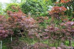 Китайские деревья клена Стоковые Изображения RF