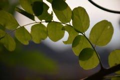Китайские лист scholartree Стоковое Фото