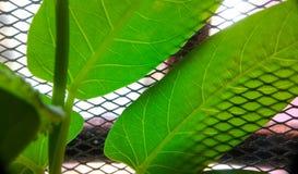 Китайские листья шпината стоковое фото