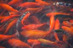 Китайские рыбы в пруде в Китае стоковое фото