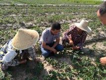 Китайские фермеры поднимая саженцы клубники Стоковая Фотография