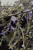 Китайские цветеня глицинии Стоковое Фото