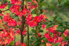 Китайские цветки айвы стоковые изображения rf