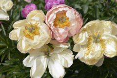 Китайские цветки пиона стоковая фотография rf