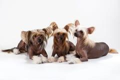 китайские crested мужчины 2 собаки женские Стоковые Фото