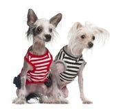 Китайские Crested 10 и 18 месяцы собак, старые Стоковое Изображение RF