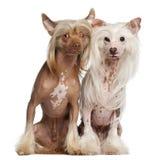 Китайские Crested 11 и 16 месяцы собак, старые Стоковая Фотография RF