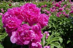 Китайские herbaceous цветки пиона Стоковое Фото