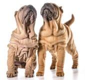 Китайские shar щенята pei Стоковое Изображение