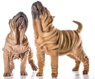 Китайские shar щенята pei Стоковое Фото