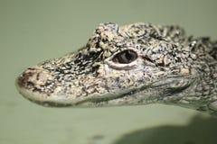 Китайский аллигатор Стоковые Фото