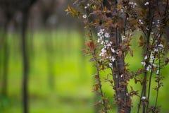 Китайский лес весны вишневого цвета Стоковые Изображения RF