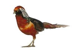 китайский золотистый мыжской фазан Стоковое Изображение RF