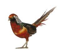 китайский золотистый мыжской фазан Стоковые Изображения RF