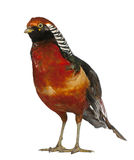 китайский золотистый мыжской фазан Стоковое фото RF