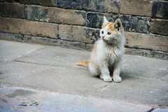 китайский котенок Стоковые Фото