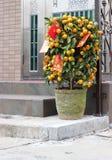 Китайский куст апельсина мандарина Нового Года в входе Гонконга стоковое изображение rf