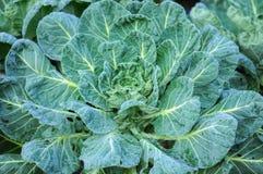 Китайский овощ Kale Стоковые Изображения