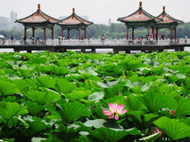 Китайский парк лотоса стоковые изображения